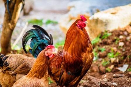 Петух и курица загородный дом